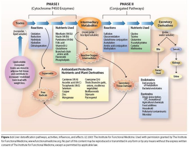 Liver Detoxification Pathways Graphic