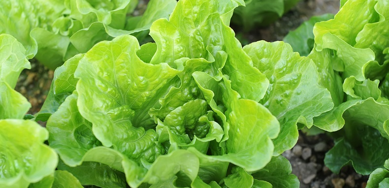 Lettuce Plant Herbacide Insecticide